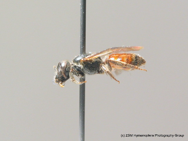 Image of <i>Lasioglossum sphecodimorphum</i> (Vachal 1892)