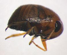 Image of <i>Plea minutissima</i> (Leach 1817)