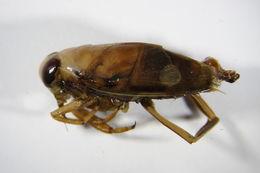 Image of Notonecta lutea