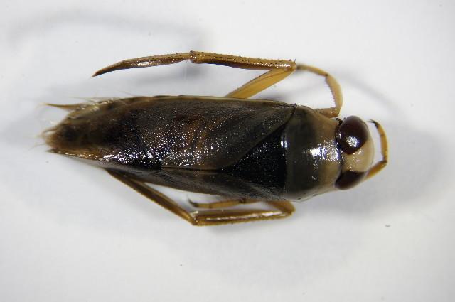 Image of Notonecta viridis