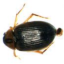 Image of <i><i>Berosus</i></i> (Berosus) <i>signaticollis</i> (Charpentier & T. 1825)