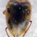 Image of <i>Haliplus heydeni</i> Wehncke 1875