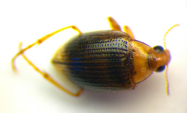 Image of <i>Haliplus laminatus</i> (Schaller 1783) Schaller 1783