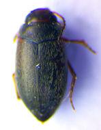 Image of <i>Hydroporus glabriusculus</i> Aubé 1838