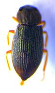 Image of <i>Helophorus</i> (<i>Rhopalohelophorus</i>) <i>asperatus</i> Rey 1885