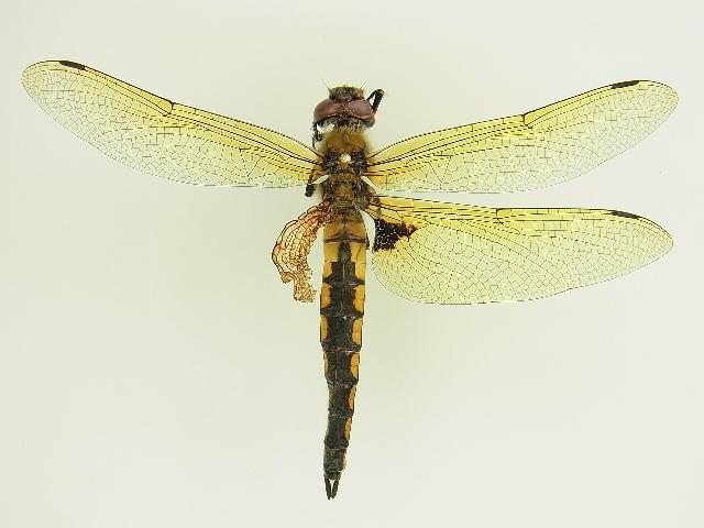 Image of Eurasian Baskettail