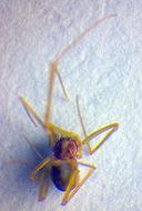 Image of <i>Spermophora kerinci</i> Huber 2005