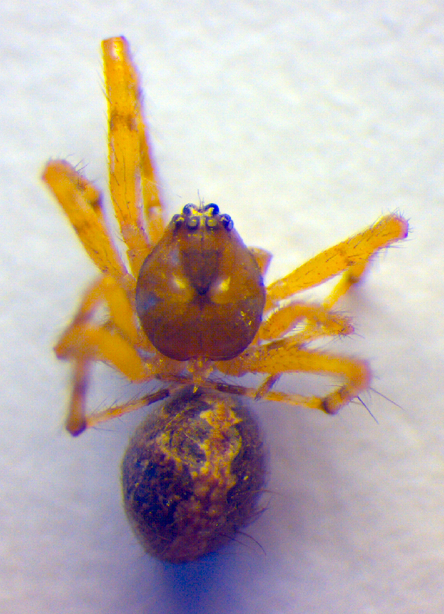 Image of <i>Theridion mystaceum</i> L. Koch 1870