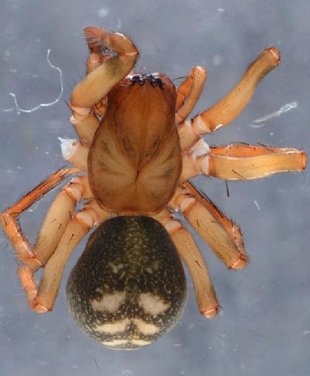 Image of <i>Cybaeus tetricus</i> (C. L. Koch 1839)