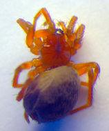 Image of <i>Antistea elegans</i> (Blackwall 1841)
