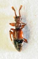 Image of <i><i>Batrisodes</i></i> (Batrisodes) <i>delaporti</i> (Aubé 1833)