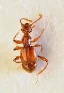 Image of <i><i>Batrisodes</i></i> (Batrisodes) <i>oculatus</i> (Aubé 1833)