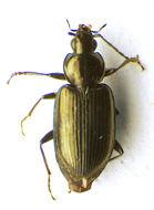 Image of <i>Agonum</i> (<i>Olisares</i>) <i>versutum</i> Sturm 1824