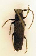 Image of <i>Phytoecia nigricornis</i> (Fabricius 1782)