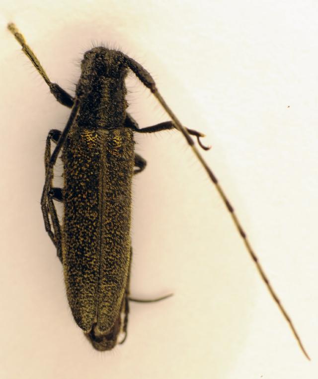 Image of <i>Agapanthia pannonica</i>