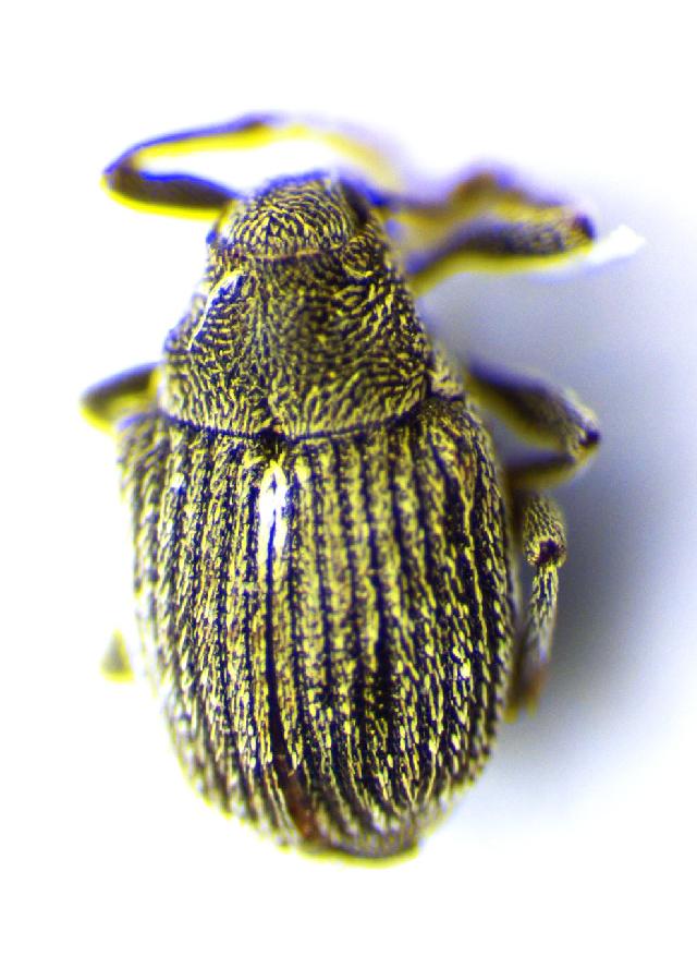 Image of <i>Sirocalodes nigrinus</i> Wagner 1938