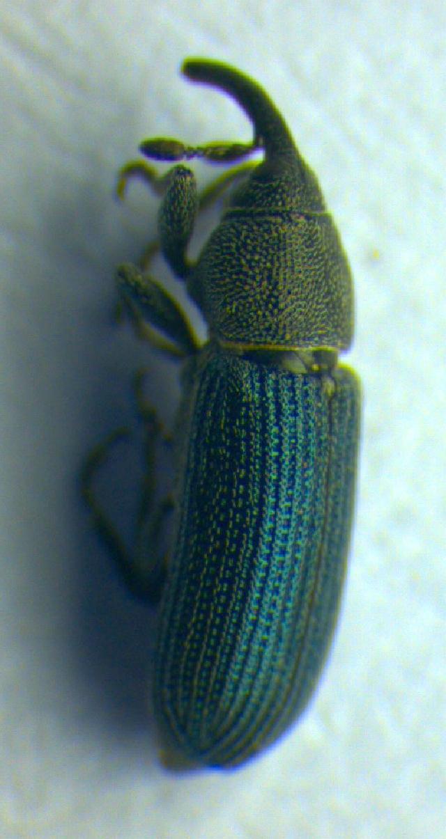 Image of <i>Mecinus janthinus</i> Thomson 1865