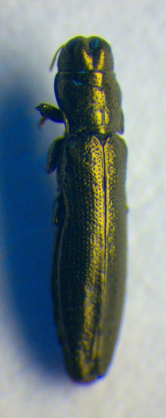 Image of <i>Aphanisticus elongatus</i> (Villa & Villa 1835)