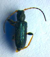 Image of <i>Phymatodes</i> (<i>Phymatodellus</i>) <i>rufipes</i> (Fabricius 1776)