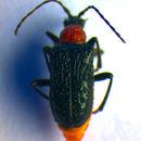 Image of <i>Dinoptera collaris</i> (Linne 1758)