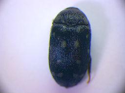 Image of <i>Attagenus punctatus</i> (Scopoli 1772) Scopoli 1772
