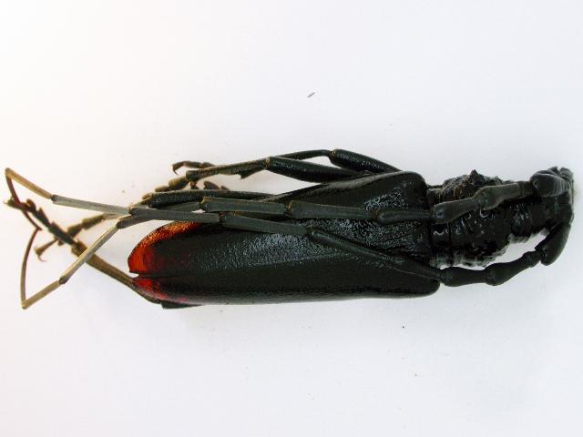 Image of Cerambyx Longicorn