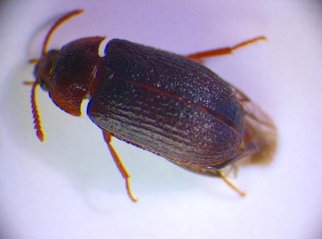 Image of <i>Mycetophagus ater</i> (Reitter 1879) Reitter 1879