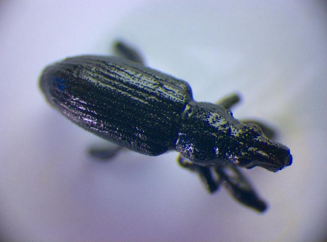 Image of <i>Sitona griseus</i>