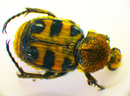 Image of <i>Trichius zonatus</i> Germar 1829