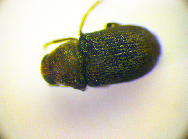 Image of <i>Rhaphitropis marchicus</i>