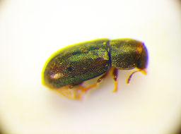 Image of <i>Orthocis lucasi</i> (Abeille de Perrin 1874) Abeille de Perrin 1874