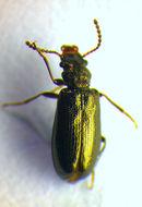 Image of <i>Rabocerus gabrieli</i> (Gerhardt 1901)