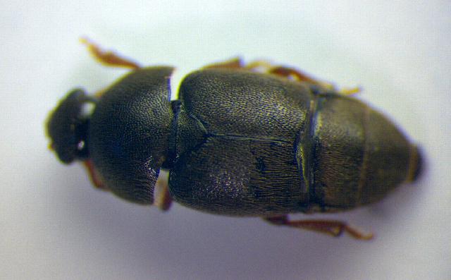 Image of <i>Brachypterolus vestitus</i> (Kiesenwetter 1850) Kiesenwetter 1850