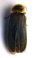 Image of common glow-worm
