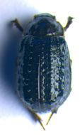 Image of <i>Trox</i> (<i>Granulitrox</i>) <i>hispidus</i> (Pontoppidan 1763)