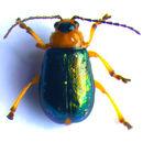 Image of <i>Sermylassa halensis</i> (Linnaeus 1767) Linnaeus 1767