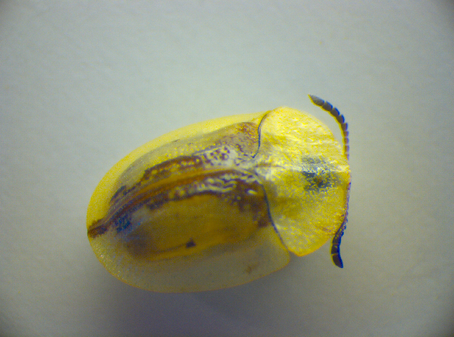 Image of <i><i>Cassida</i></i> (Cassida) <i>vibex</i> Linnaeus 1767
