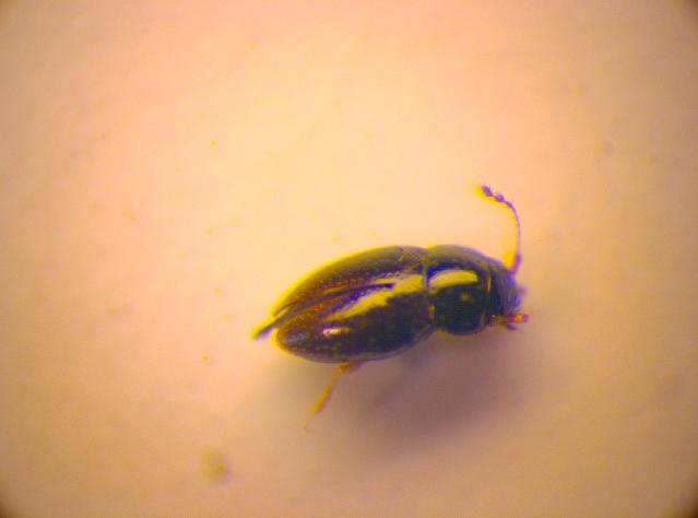 Image of <i>Ptenidium</i> (<i>Wankowizium</i>) <i>brenskei</i> Flach & C. 1887