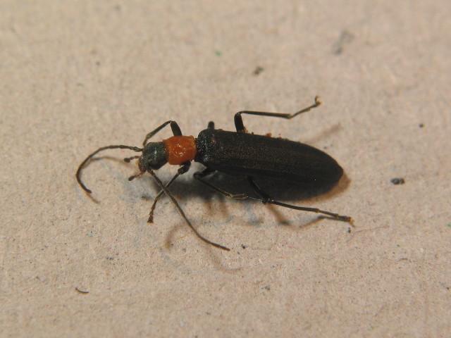 Image of <i>Ischnomera sanguinicollis</i>