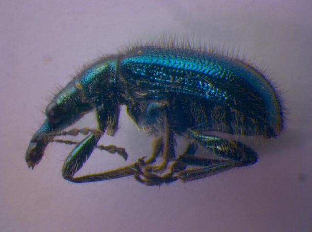 Image of <i>Lasiorhynchites cavifrons</i> (Gyllenhal 1833)