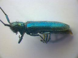 Image of <i>Agapanthia intermedia</i> Ganglbauer 1884