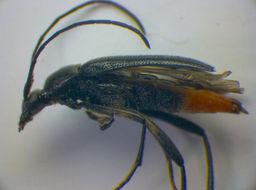 Image of <i>Stenurella</i> (<i>Nigrostenurella</i>) <i>nigra</i> (Linne 1758)