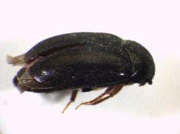 Image of Black carpet beetle