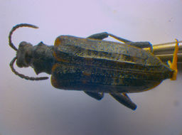 Image of <i>Rhagium inquisitor</i> (Linne 1758)