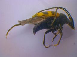 Image of <i>Pachytodes cerambyciformis</i> (Schrank 1781)