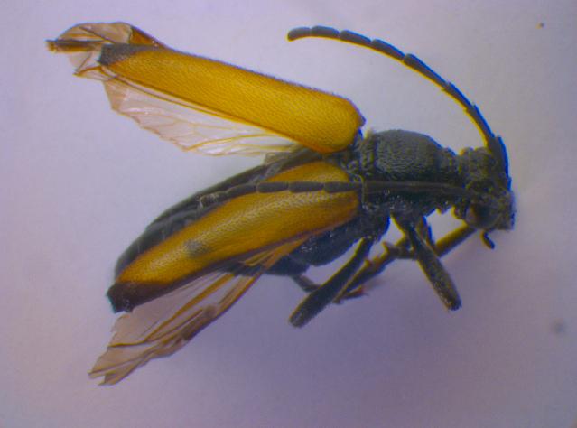Image of <i>Anastrangalia sanguinolenta</i> (Linné 1761)