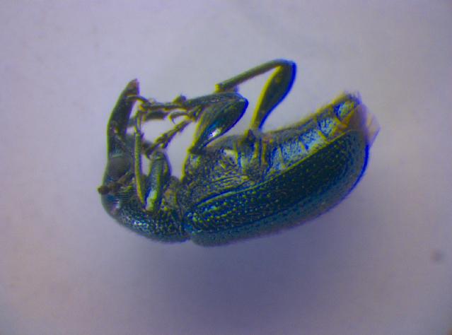 Image of <i>Temnocerus longiceps</i> Legalov 2003