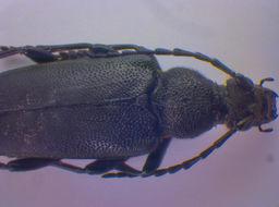 Image of <i>Stictoleptura scutellata</i> (Fabricius 1781)