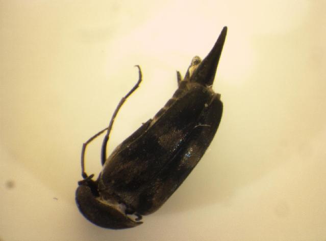 Image of <i>Variimorda mendax</i> Mequignon 1946
