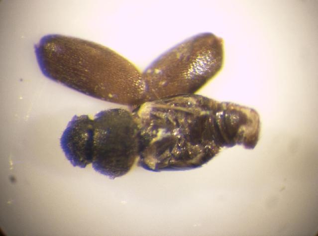 Image of <i><i>Ptiliolum</i></i> (Ptiliolum) <i>marginatum</i> (Aubé 1850)